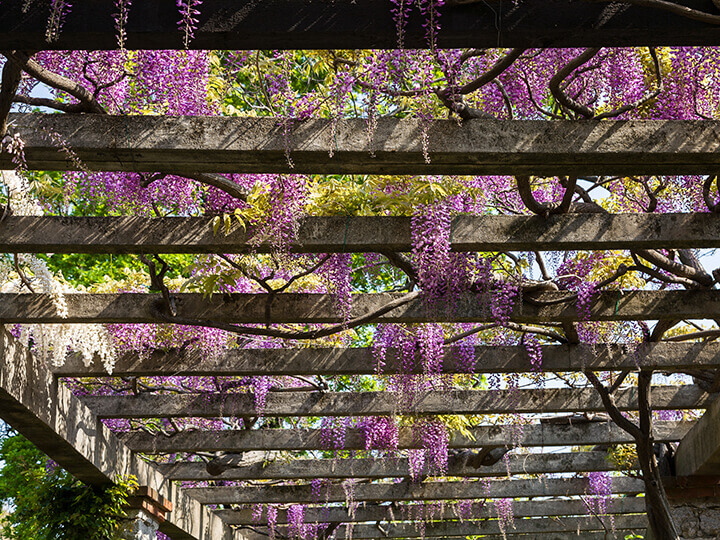 wisteria-covered space