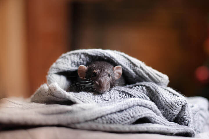 mouse in an old sweater on the floor