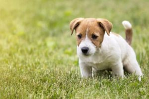 How to fix dog urine burns in your lawn