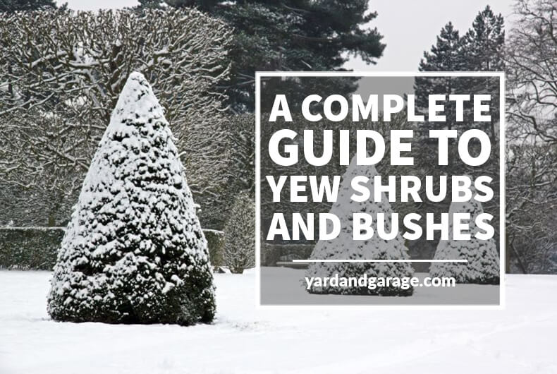 Guide to Yew Shrubs