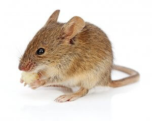 house mouse eating cheese