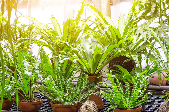 a large grouping of indoor ferns near a window