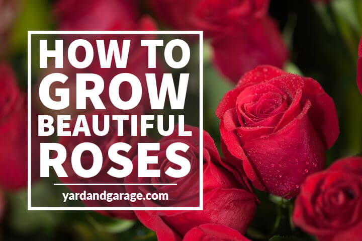 Growing Roses – The Guide to Beautiful Rose Bushes