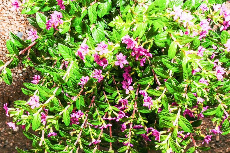 Mexican Heather Flowers