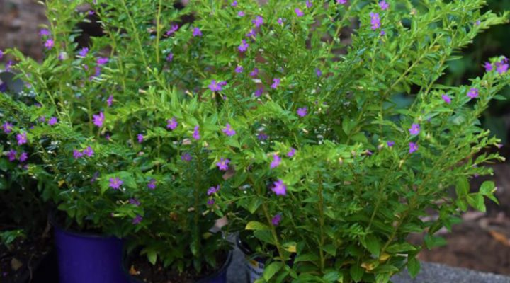 Mexican Heather plants in containers