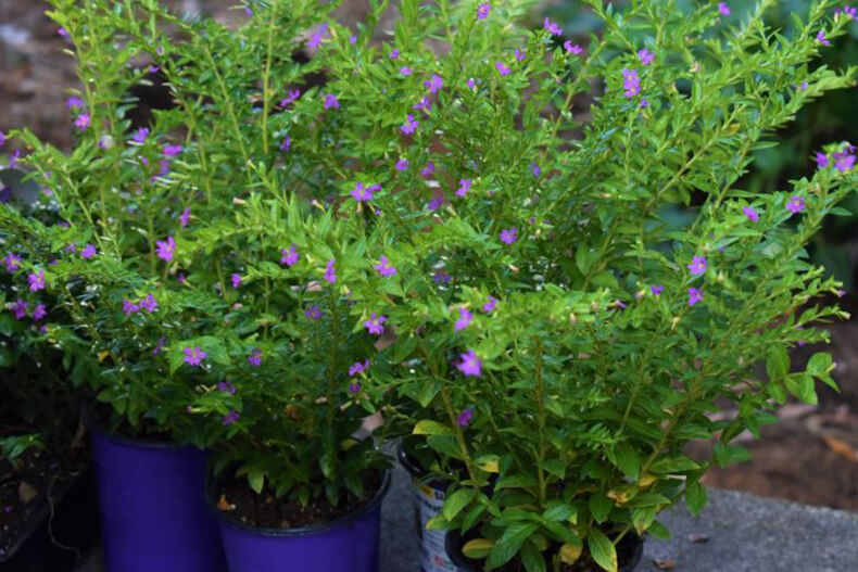 Mexican Heather – A Hardy Plant for Your Garden