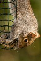 squirrel hanging upside down eating
