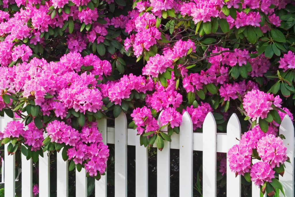 Rrhododendrons and picket fence