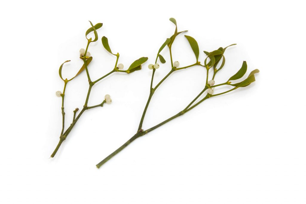 Mistletoe poisonous plant