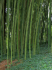 thick bamboo