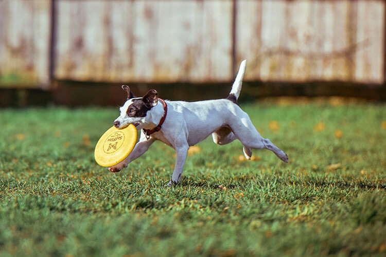 dog running with a frisbee