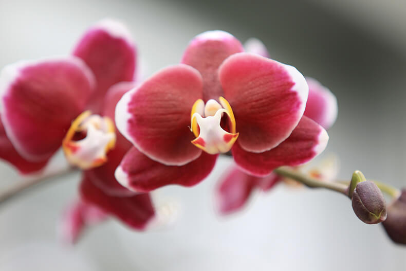 Early red orchid blooms
