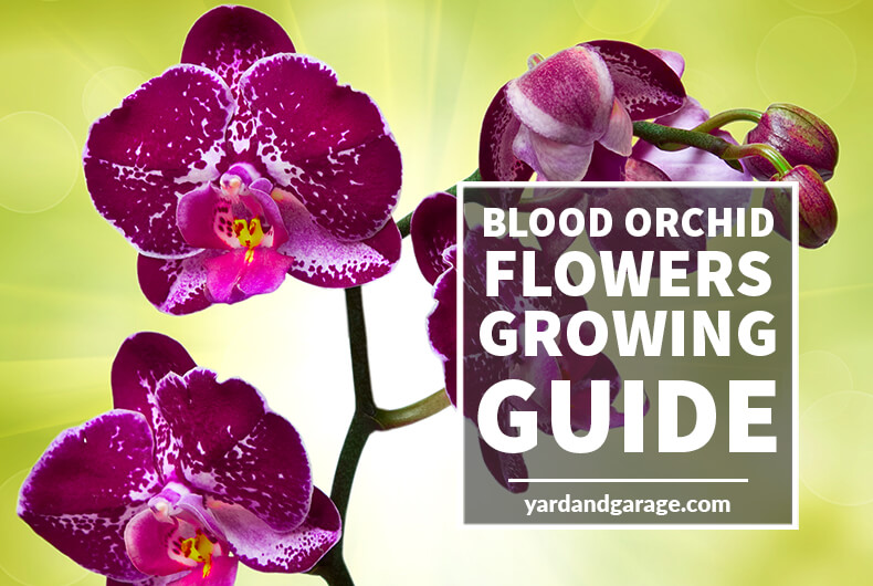 Growing blood orchid flowers-guide