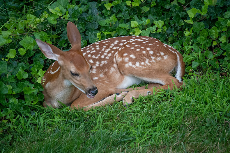 spotted fawn laying in grass