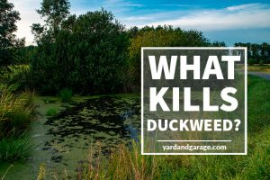 What will kill duckweed in your pond?