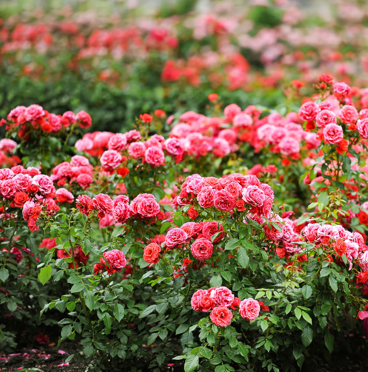 Beautiful pink and red rose garden