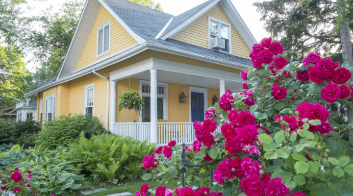 rose bush in front of a yellow house