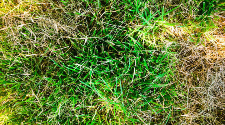 Grass turning from green to yellow