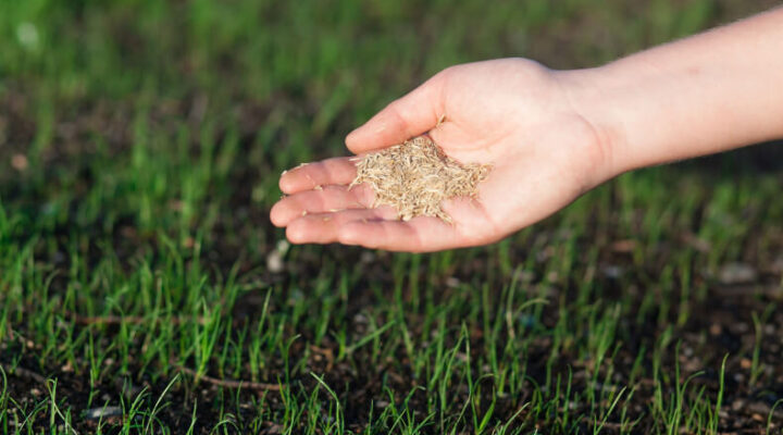 closeup of a hand spreading grass seed over newly germinated soil