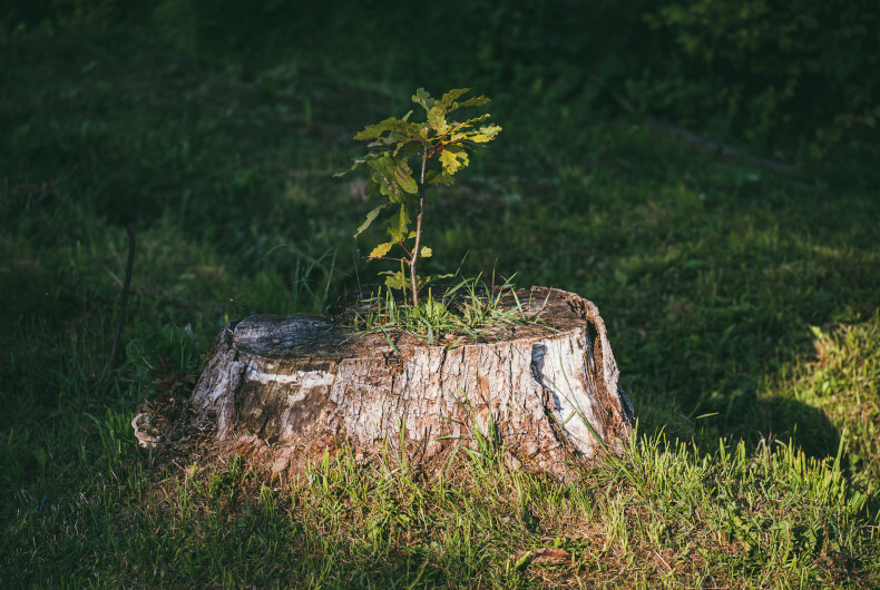 sprout growing from tree stump
